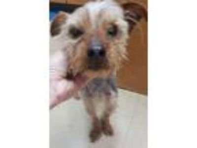Adopt Chuckie a Yorkshire Terrier