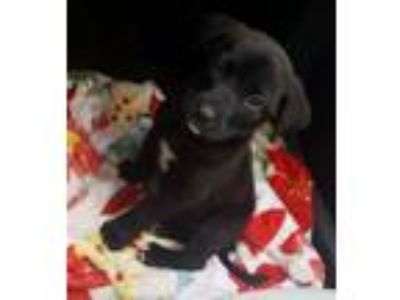 Adopt COOKIE a Labrador Retriever