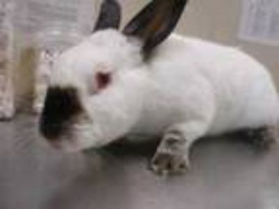 Adopt Brylie a Sable Californian / Californian / Mixed rabbit in Houston