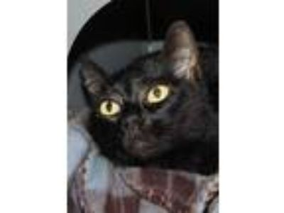 Adopt Beauty a All Black Domestic Shorthair / Domestic Shorthair / Mixed cat in