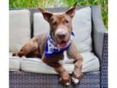 Adopt Adorable Lady a Bull Terrier, Shar-Pei