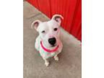 Adopt Catalina a Pit Bull Terrier