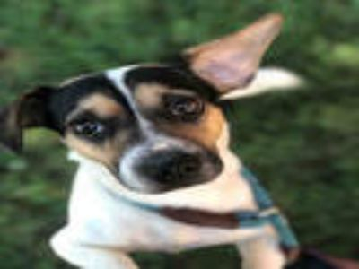 Adopt SKIPPIE a White - with Black Jack Russell Terrier / Mixed dog in York