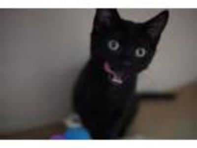 Adopt Mars Bar a Domestic Short Hair