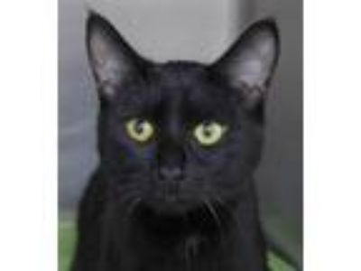 Adopt Missy a All Black Domestic Shorthair / Mixed (short coat) cat in Batavia