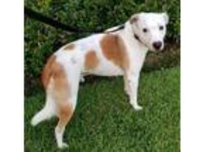 Adopt Toby Lab a Pointer, Pit Bull Terrier