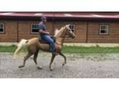 Coaster A Stunning Palomino Gelding 4yr old 153H Trail horse Deluxe