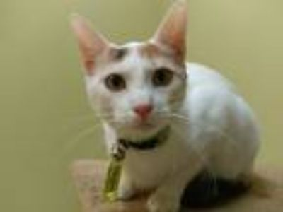 Adopt Molly Anna a Calico or Dilute Calico Calico (short coat) cat in