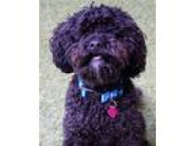 Adopt Jett a Poodle (Miniature) / Mixed dog in Novato, CA (25367833)
