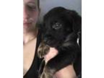 Adopt Front Tire a Black Dachshund / Mixed dog in Mission, KS (25304931)