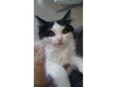 Adopt Figaro a Black & White or Tuxedo Domestic Longhair (long coat) cat in