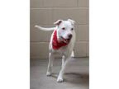 Adopt Ace a White - with Brown or Chocolate American Staffordshire Terrier /