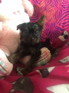 Shorkie Tzu-Yorkshire Terrier Mix PUPPY FOR SALE ADN-108527 - adorable shorkie girl baby can now go home