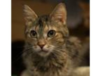 Adopt Selena a Domestic Short Hair