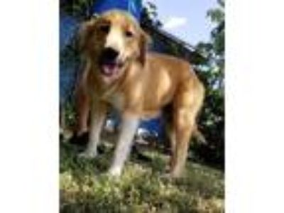 Adopt TULIP a Tan/Yellow/Fawn - with White Golden Retriever / Mixed dog in