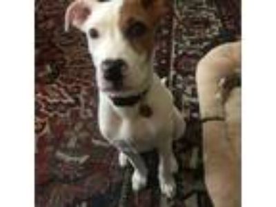 Adopt Adie a White - with Tan, Yellow or Fawn Boxer / Terrier (Unknown Type