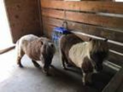 Adopt Dolly and Maple a Miniature Horse