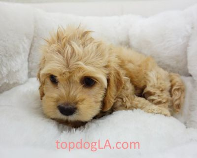 Cockapoo Puppy - Male – Gravy ($1,299)