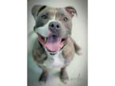 Adopt Ceelo a Pit Bull Terrier