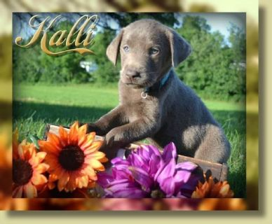 Kalli AKC Female Labrador Retriever