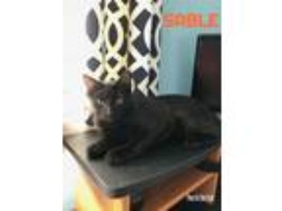 Adopt Sable a Domestic Short Hair
