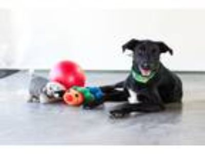 Adopt Nina a Black - with White Labrador Retriever / Mixed dog in Seattle