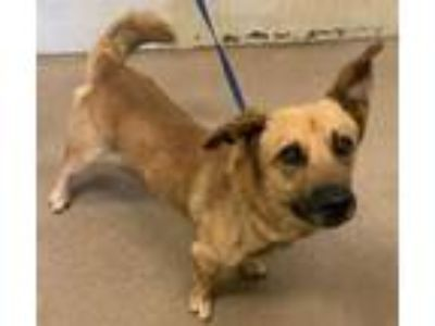 Adopt Randall* a Brown/Chocolate Shepherd (Unknown Type) / Beagle / Mixed dog in