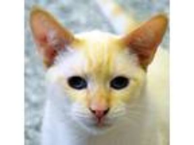 Adopt Phil a Cream or Ivory (Mostly) Siamese / Mixed (medium coat) cat in