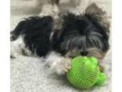 Adopt Walter and Franklin a Yorkshire Terrier