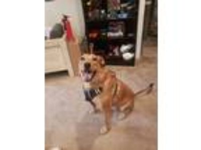 Adopt Donnie is in VA a Tan/Yellow/Fawn - with White Labrador Retriever / Collie