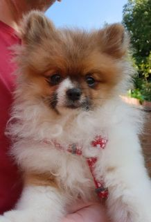 Pedigree Pomeranian Puppies - Ready Now for adoption