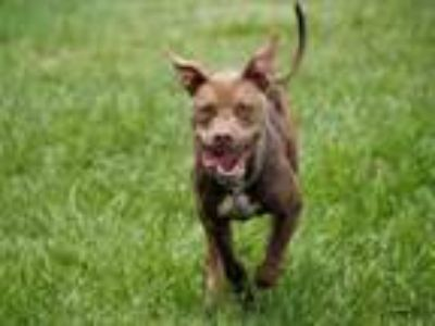 Adopt ATLAS a Staffordshire Bull Terrier