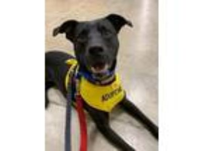 Adopt Tabitha a Miniature Pinscher, Wirehaired Terrier