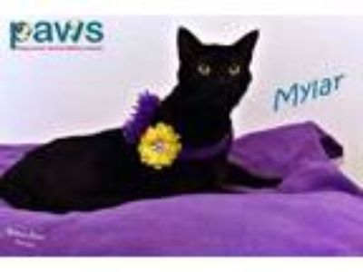 Adopt Mylar a All Black Domestic Shorthair / Domestic Shorthair / Mixed cat in
