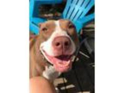 Adopt Applejack a Pit Bull Terrier