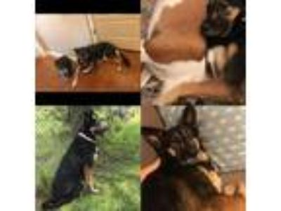 Adopt Lucy 2 a Black - with Tan, Yellow or Fawn German Shepherd Dog / Mixed dog