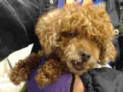 Adopt CURLY a Brown/Chocolate Poodle (Miniature) / Mixed dog in Doral