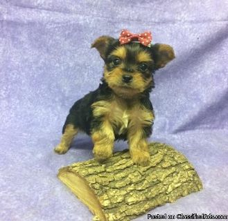 OPIHG Yorkshire Terrier Puppies for Sale