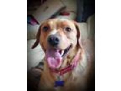 Adopt Maya a Red/Golden/Orange/Chestnut - with White Labrador Retriever / Beagle