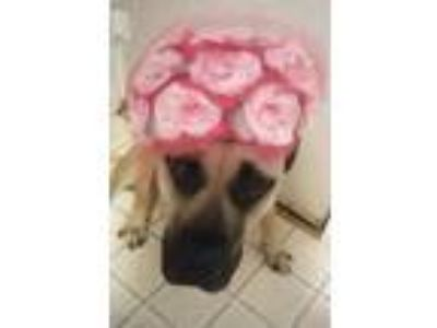 Adopt Marley a Tan/Yellow/Fawn Mastiff / Black Mouth Cur / Mixed dog in Garland