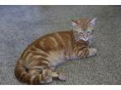 Adopt Chase a Orange or Red Domestic Shorthair (short coat) cat in Ft.