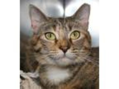 Adopt LEXI a Orange or Red (Mostly) Domestic Shorthair (short coat) cat in