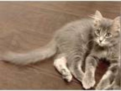 Adopt ETHEL a Gray or Blue Domestic Shorthair / Mixed (short coat) cat in