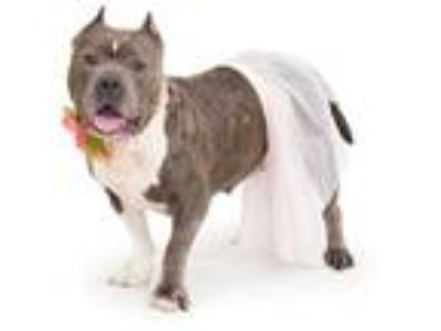 Adopt MIA a Gray/Silver/Salt & Pepper - with White American Pit Bull Terrier /