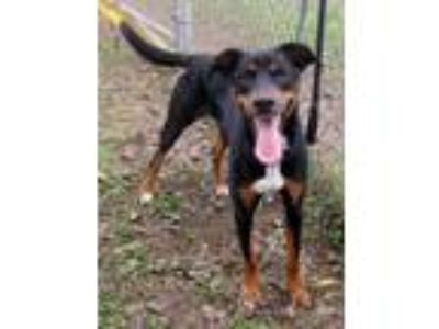 Adopt Potcake a Black - with Tan, Yellow or Fawn Doberman Pinscher / Mixed dog