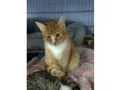 Adopt Orange Crush a Orange or Red (Mostly) Domestic Mediumhair / Mixed cat in