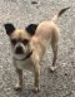 CASHEW-Sweet quiet Pug - Chihuahua Dog