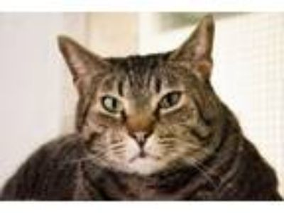 Adopt Kingston a Domestic Short Hair