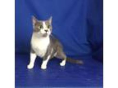 Adopt MJ a Gray or Blue Domestic Shorthair cat in Show Low, AZ (25305739)