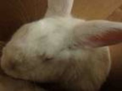 Adopt CHERRY a Bunny Rabbit